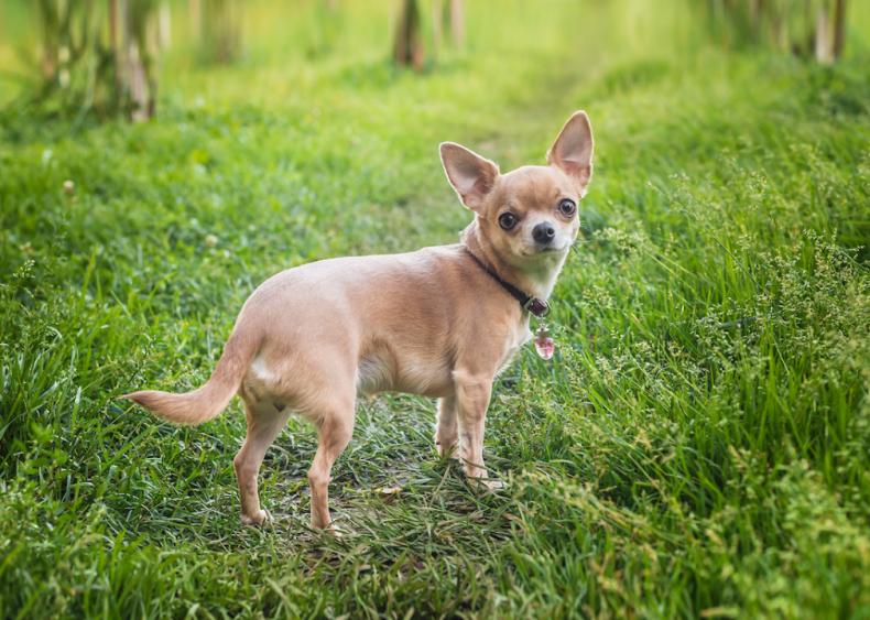 #10. Chihuahuas