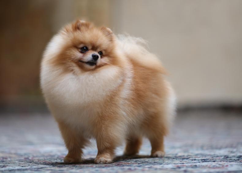 #6. Pomeranians