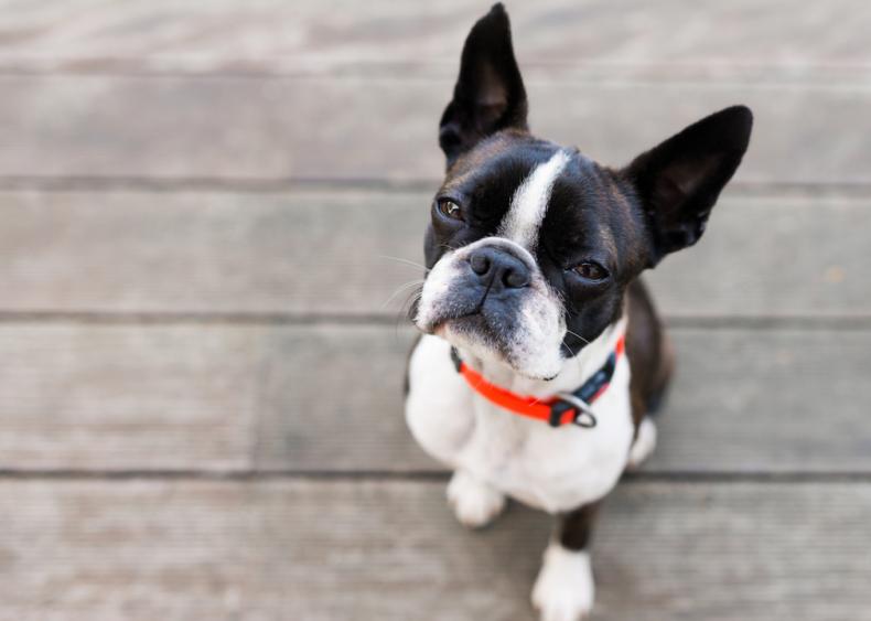#5. Boston terriers