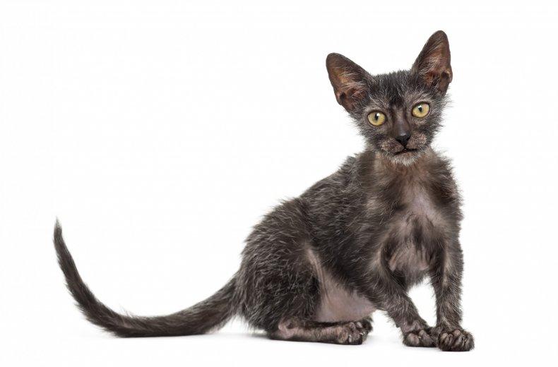 kitten Lykoi cat, 3 months old