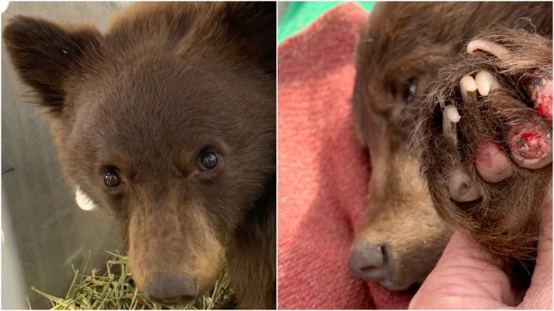 Baby Bear released into the wild