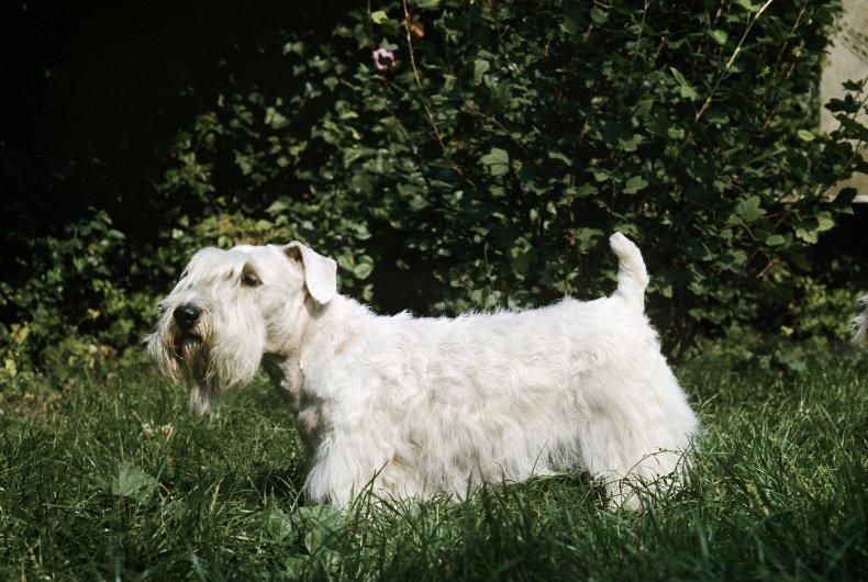 Sealyham Terrier dog standing on grass