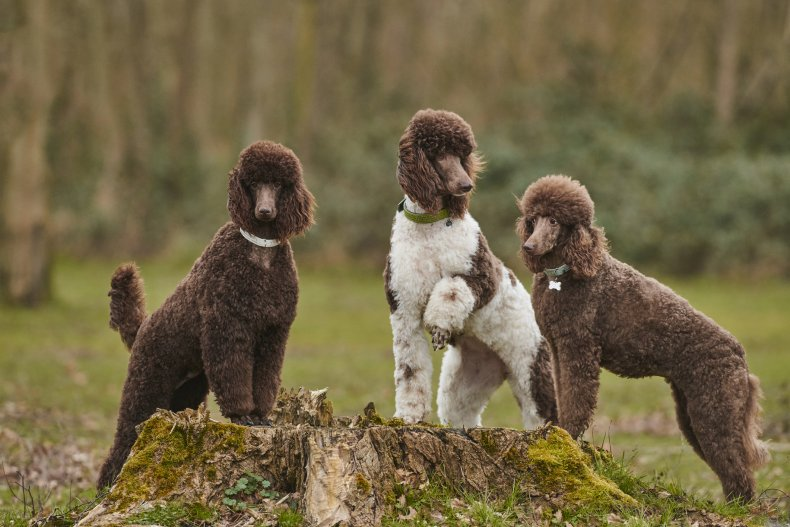 Poodles standing together on a tree stump