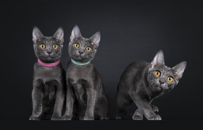 Row of three Korat cat kittens