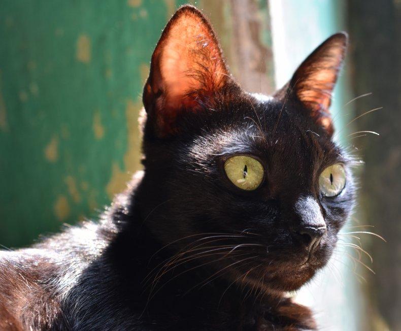 A Bombay cat