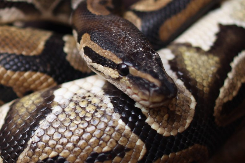 Woman nearly hits python on ride