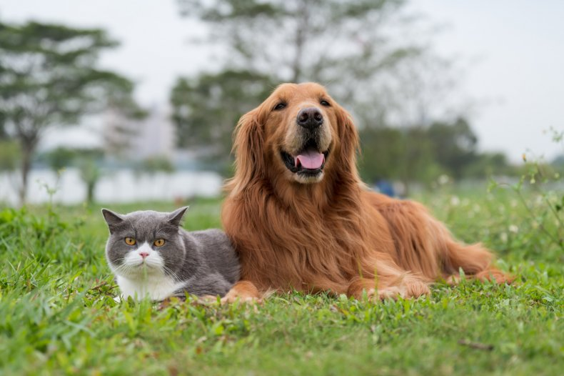Golden Retriever and cat lying on grass
