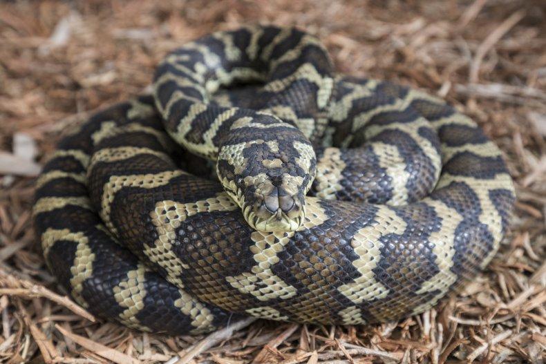 Australian carpet python snake