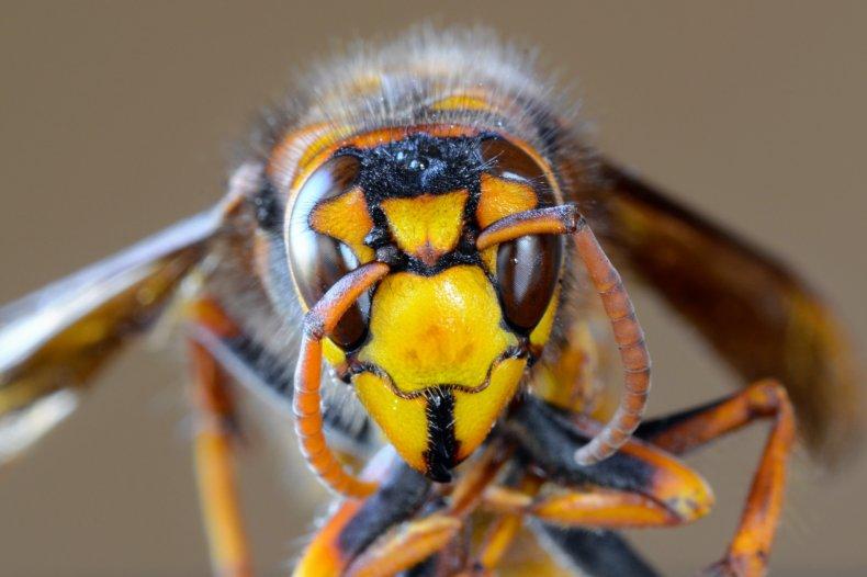 Stock image of a Japanese giant hornet