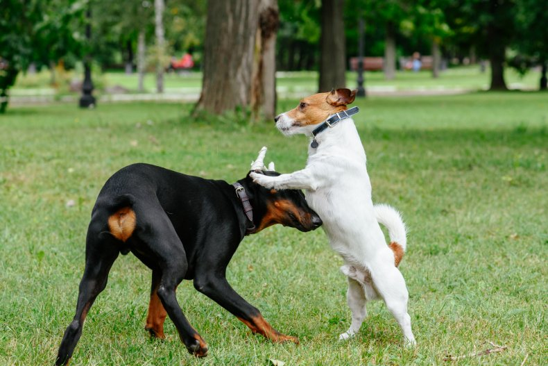 Jack Russell Terrier dog and a Doberman