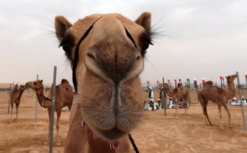 Close up image of a camel.