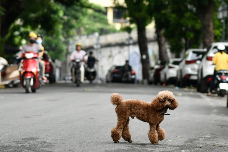 Small brown toy poodle walking in road.