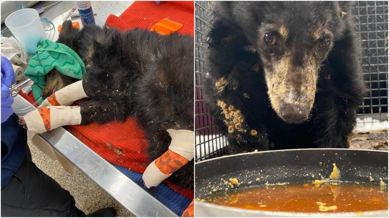 Road to Recovery for Colorado  Bear Cub