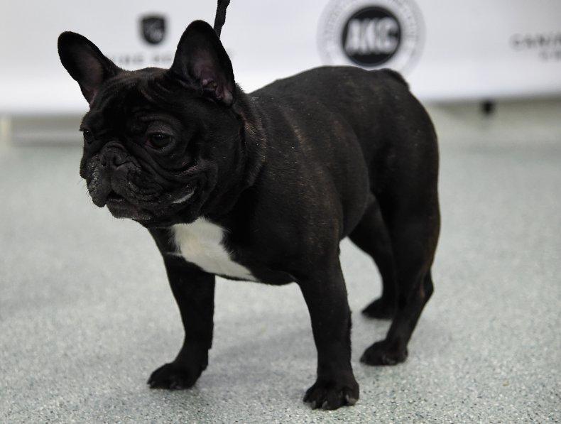 French Bulldog at AKC Canine Retreat