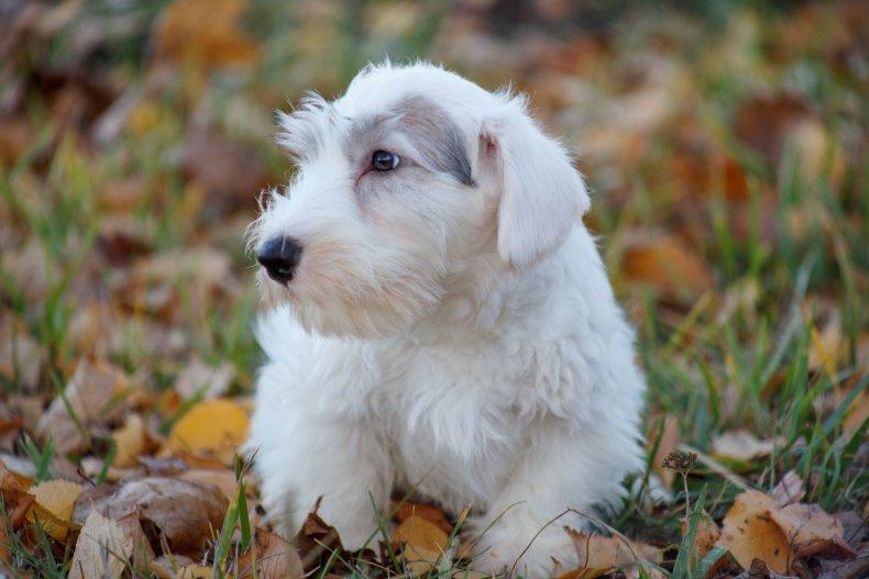 Sealyham Terrier