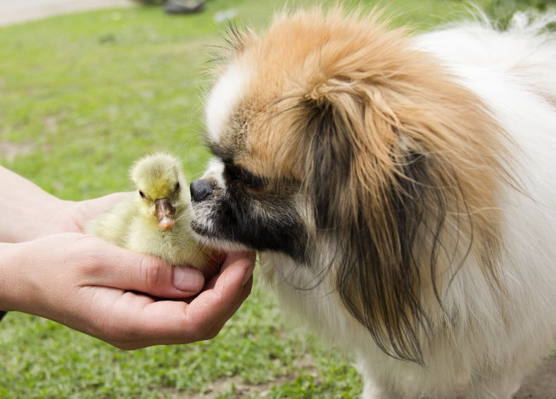 Stock image of a gosling and dog