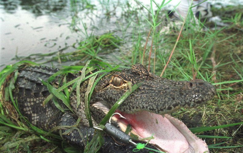 Florida alligator blocks front door to house