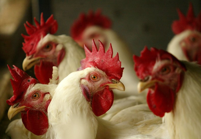 Chickens at Poultry Farm