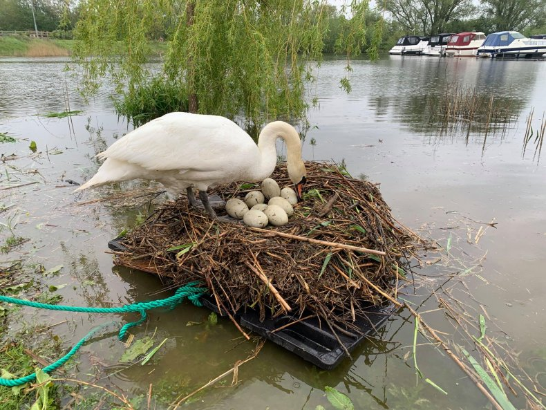 swan rescue