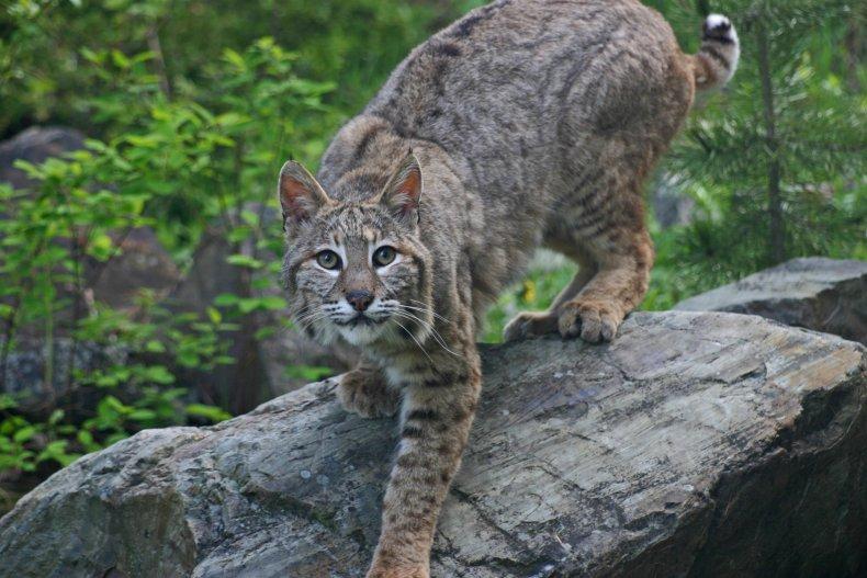 Stock image of a bobcat