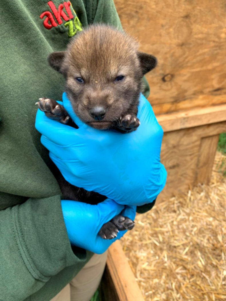 Eight red wolf pups with eyes open.