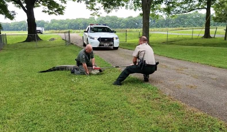 Stubborn Alligator Wrestles Cops