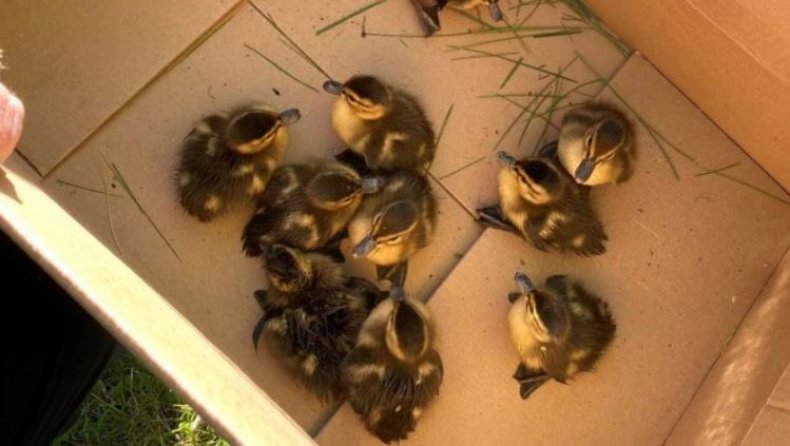 The ducklings were rescued by firefighters