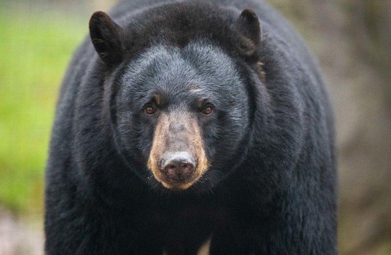 Black Bear Killed Wildlife Oklahoma Family Backyard