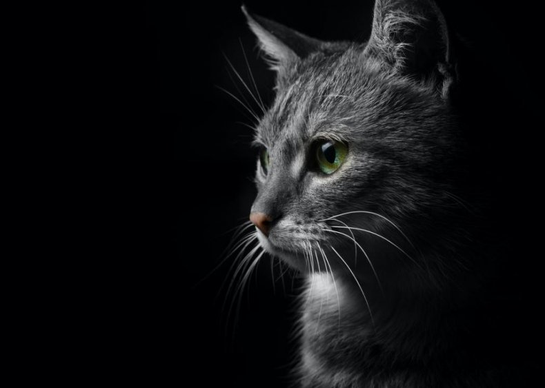 Why does my cat scream at night?