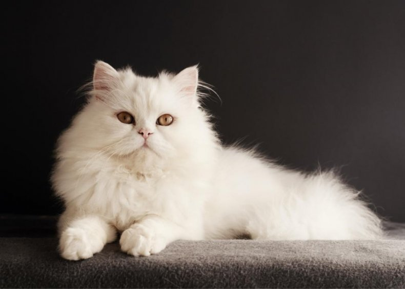 What's the most popular breed of cat?