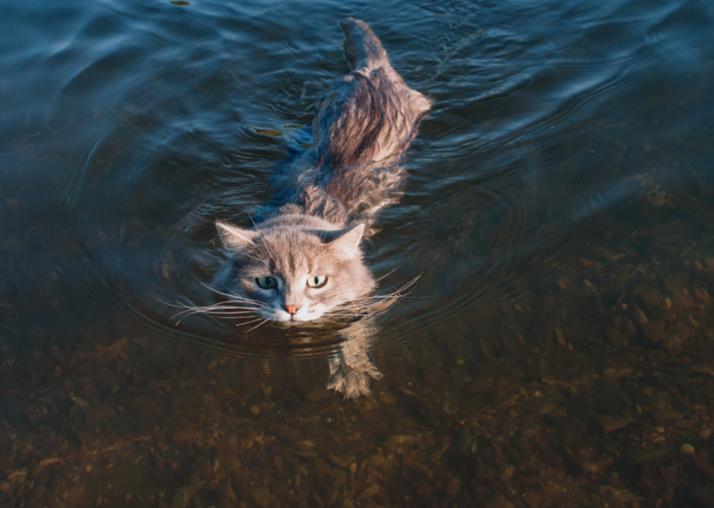 Isn't there a breed of cat that loves water?