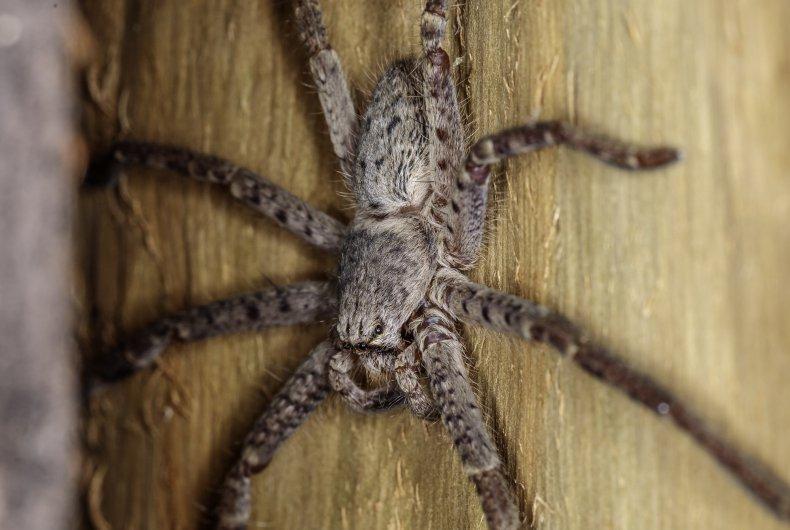 Huntsman spider from the genus Isopedella