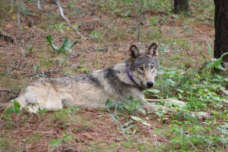 cute gray wolf