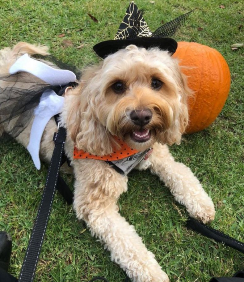 Lola the cavoodle at Oscar's Halloween party
