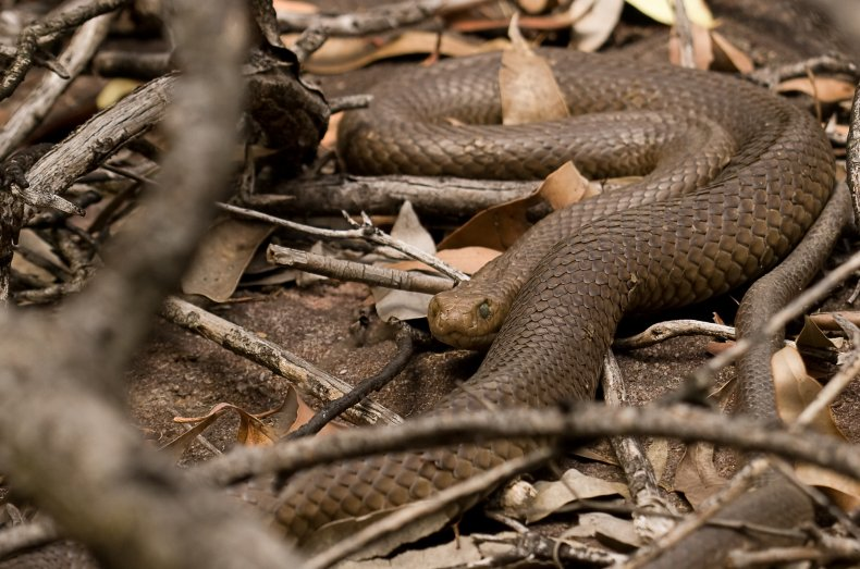 An eastern brown snake on the ground
