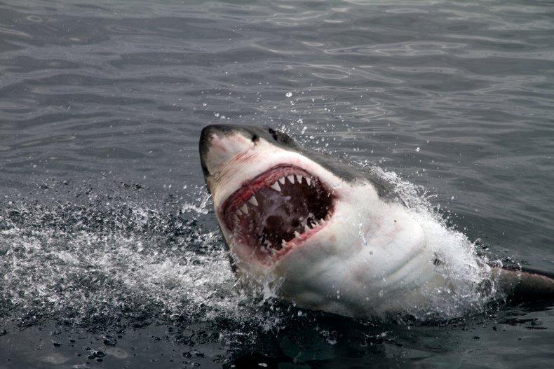 great white shark, stock, getty