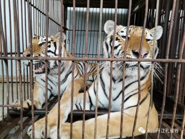 Escaped Tigers Fatally Maul Circus Handler