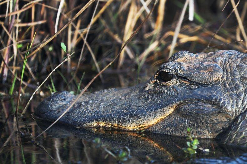 An alligator at Florida's Everglades National Park.