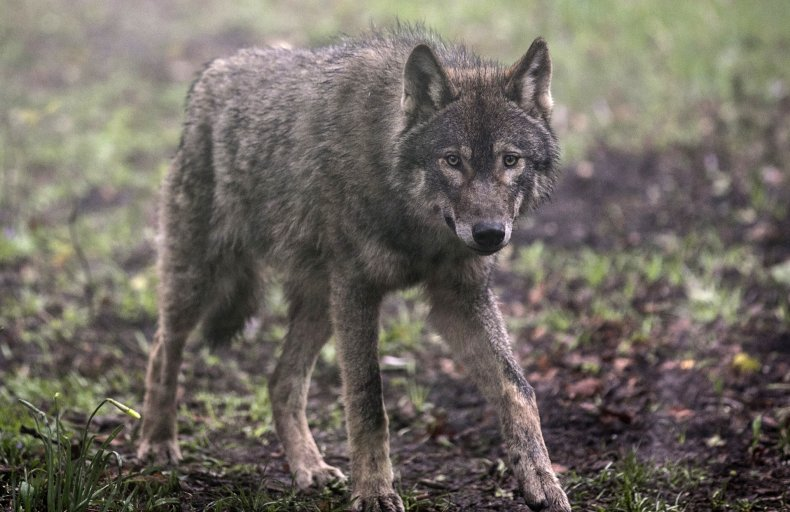 A young male wolf