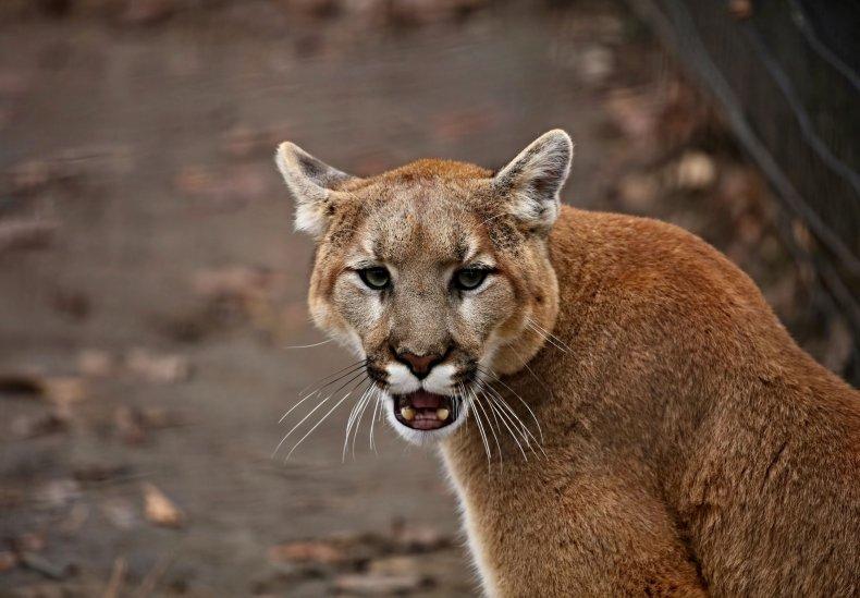 Cougar jumps through glass door