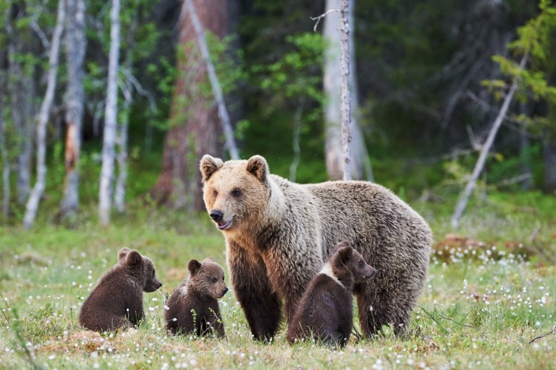 A mother brown bear and three cubs
