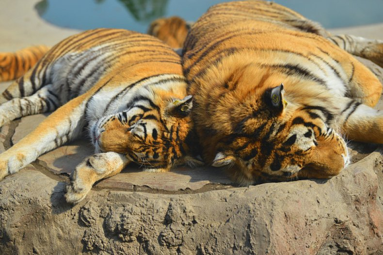 Tigers Shot Killed Zookeeper Escaped China