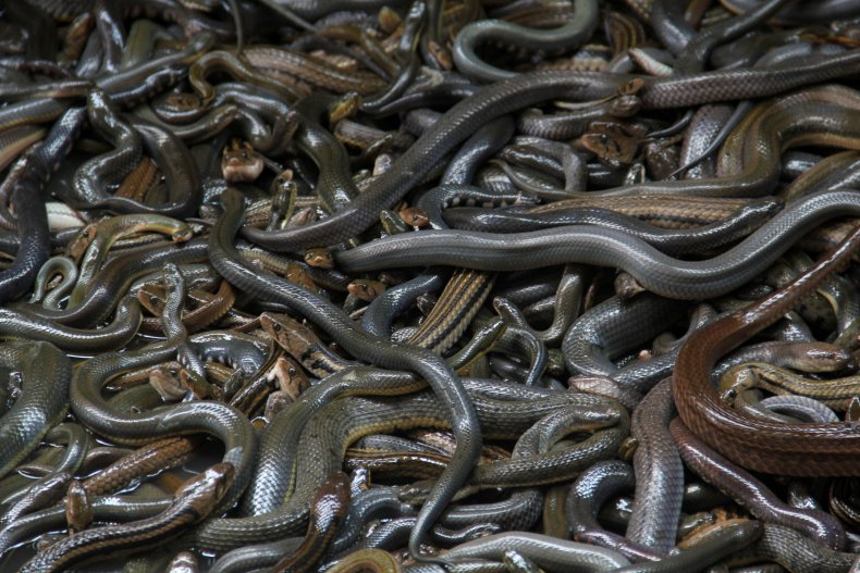 Snakes in Indonesia