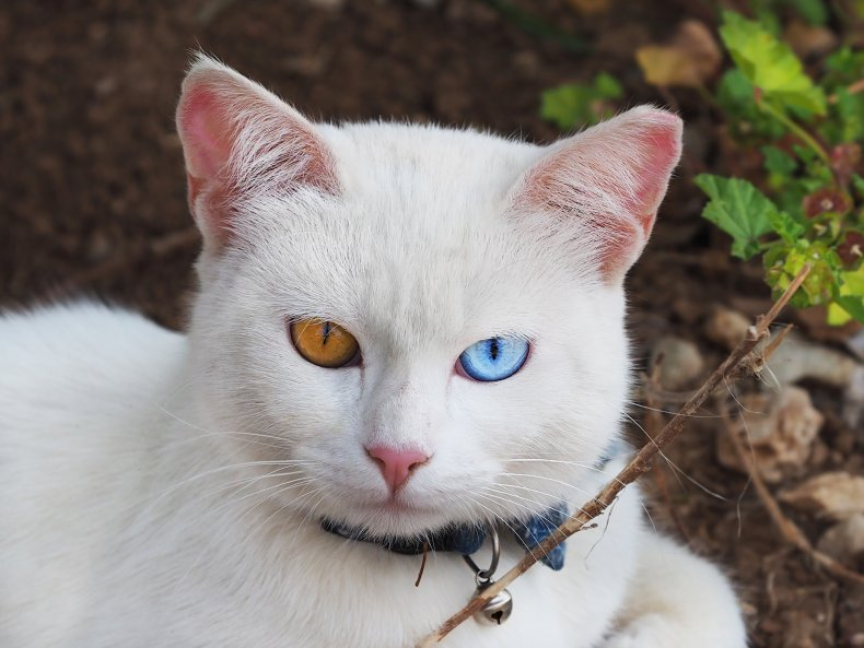 Portrait of a white cat Khao Manee
