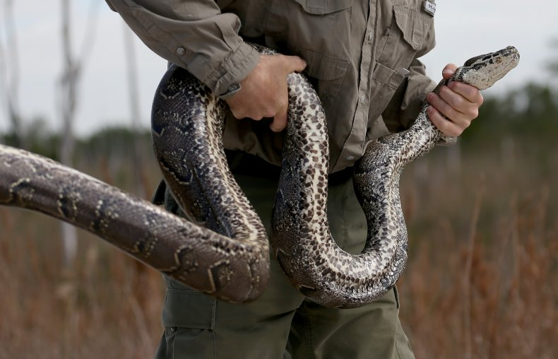 Python found coiled under butcher table