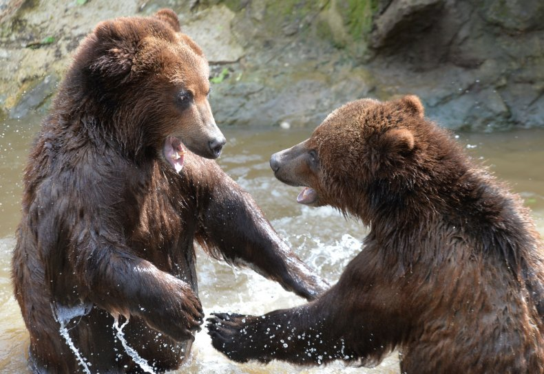 Two grizzly bears play in a pool.