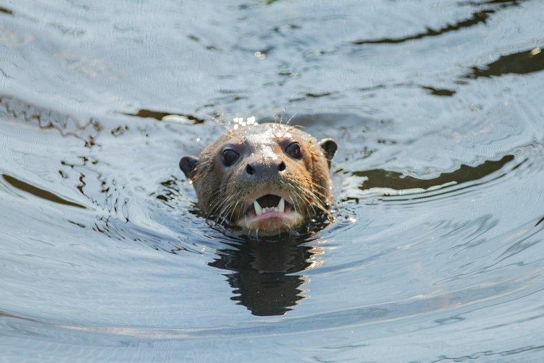 'Extinct' giant river otter found alive