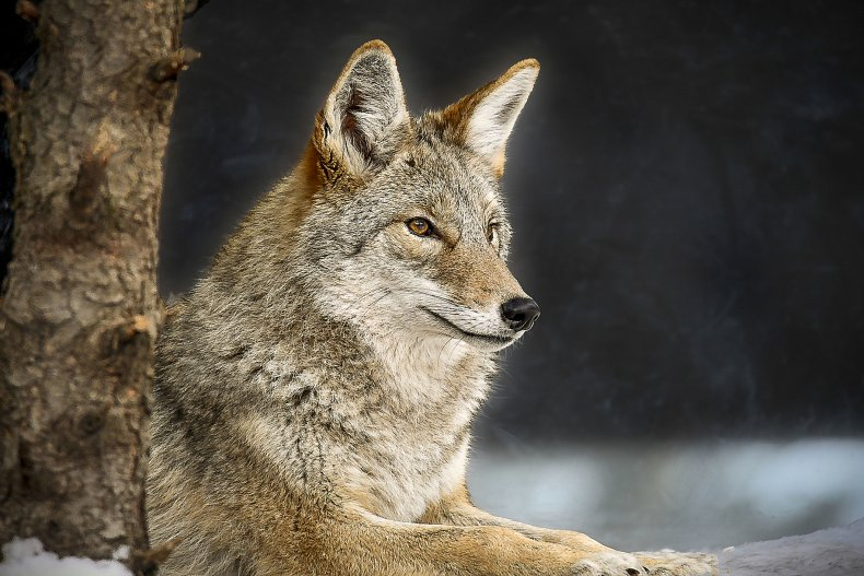 A gray wolf sitting by a tree