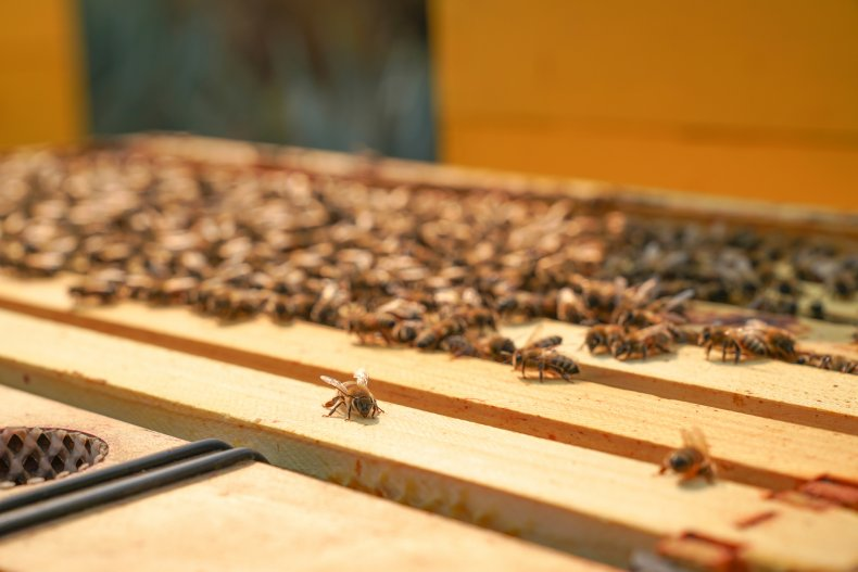 Bees clustering on a hive's honey frames