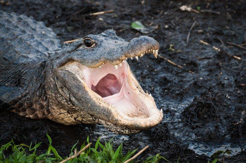 Alligator attacks Jeffrey Heim in Florida